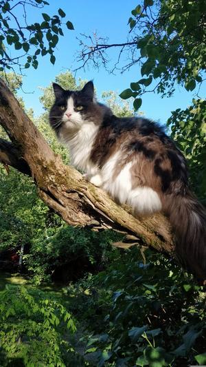 374) Rut sitter här och utöver sin hobby som fågelskådare!Rut är en Maine Coontjej på 8 år och 6 kilo! Gosigare katt finns inte! Foto: Siv Åslund