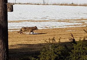 Här är vargen som rör sig norr om Ockelbo. Av allt att döma är det en tik  från Ryssjöreviret. Bild: Privat