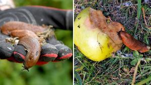 Spansk skogssnigel, mer känd som mördarsnigel, orsakar stora skador i trädgårdar och jordbruk.Bild: Gunnar Lundmark, Hasse Holmberg / TT.