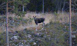 Jägarbröder som vill ha mångfald i skogen, låt älgstammen växa, skriver signaturen