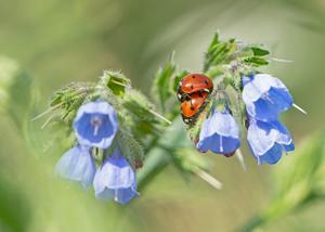 Var egentligen ute efter fjärilar när jag fick syn på dessa som satt så vackert på Vallörten. Bild: Ing-Marie Sjödin.