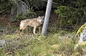 Sandra Grönlund tog en bild på vargen vid Hammardammen när den följde efter henne.