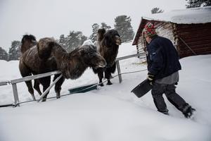Hungriga sibiriska kameler väntar i snön.