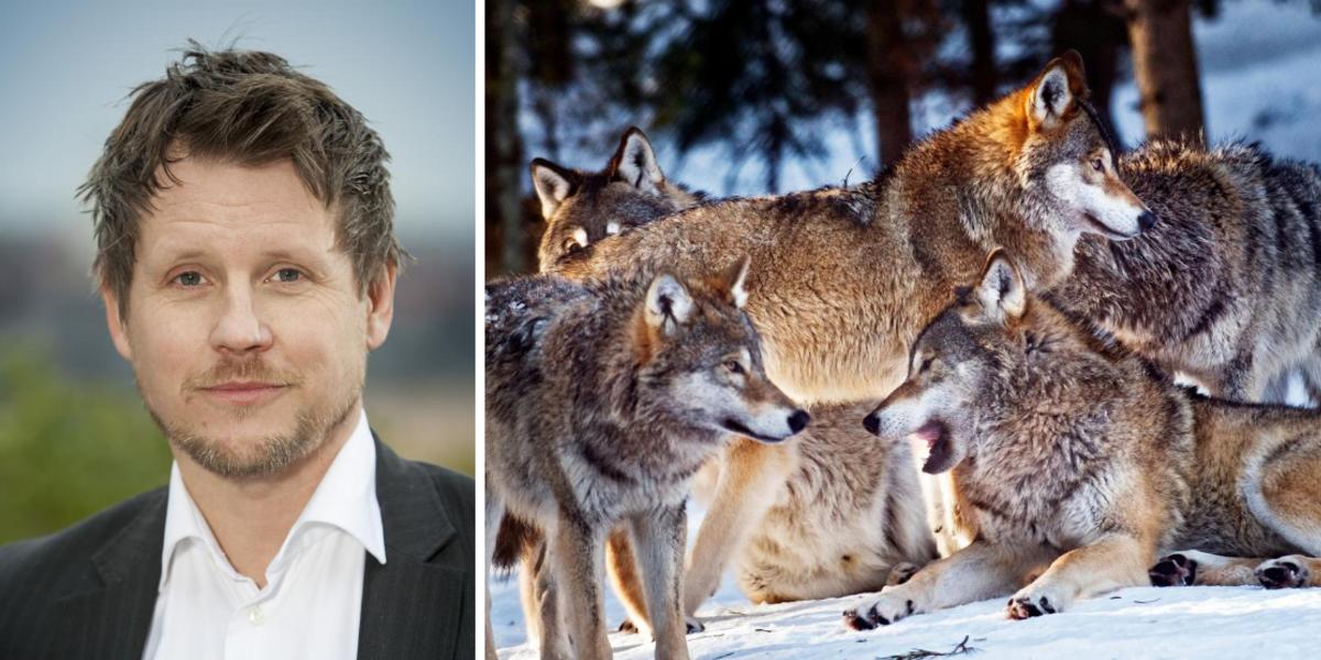Naturskyddsföreningen vill se fler vargar - kritiska till Jägareförbundets utspel om halverad vargstam