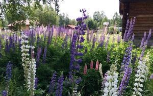 Kampen mot lupinerna har pågått i sommar för LT:s krönikör Britt Lindblad. Foto: Lisa Abrahamsson/TT