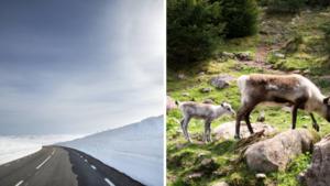 """Turistanstorming stör djurlivet på Stekenjokk – tillträdesförbudet hävs: """"Bävar inför hur det kommer bli"""""""