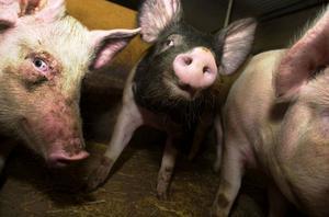 Svenskt griskött är bäst, enligt skribenterna.