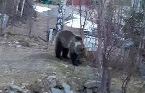 Trots att Ingrid Fredlund städat undan efter vinterns fågelmatning, så kommer björnarna tillbaka. Härom dagen hade en björn stökat till rejält vid en stuga hon har på tomten. Foto: Ingrid Fredlund