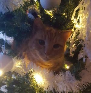 8) Katten Isse tycker att det fattas något fint i granen. Foto: Margareta Mood