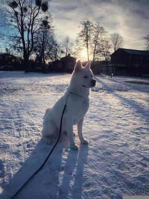 Om bilden: Freija är 2 år adopterad från Irland. Snön är hennes bästa vän, hon älskar vintern! Foto: Sofie Envall