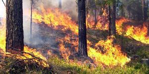 Fageråsen. Gammelskogen sägs ha skapats av elden – här härdades de äldre tallarna.