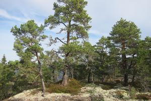 Ladudden, 34 hektar (ligger strax norr om Rotholma). Udde med blandskog präglad av historiskt bruk då marken tidigare ingick i en helfäboddrift, den sydligast kända helfäboddriften i landet. Exempel på skyddsvärda arter: ask, rutlåsbräken och gulsträngad fagerspindling. Foto: Länsstyrelsen