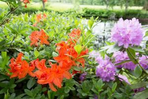 Rhododendron och azalea trivs intill Boån.