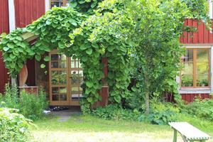 Den lummiga piprankan växte här redan för 26 år sedan, när Gunnar Kaj och hans man Carl-Johan Kaj Vahlén flyttade in på Hallboda. I rabatten växer bland annat liljekonvalj och ormbunkar.  – Jag tror inte det är så vanligt att man väljer skogsväxter invid huset, säger Gunnar Kaj.