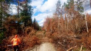 Träd med nerbrunna rötter faller i hela skogsbrandsområdet. Foto: Henrik Simsson