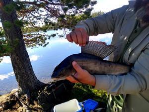 Jonas Holmström fångade den här fina harren och en till i Hånsjön.
