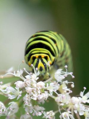 Makaonfjärilslarv på strätta.Foto: Solveig Wadelius