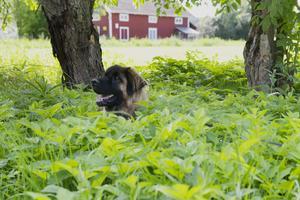 Uffe tar skydd från solen i det höga gräset.