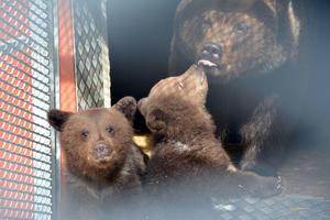 Björnungar i Orsa Rovdjurspark. Bilden tagen i april 2015. De drygt ettåriga björnungarna kom ut i hägnet på måndagen och såg då snö för första gången.