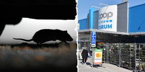 Sedan några veckor tillbaka har Stora Coop i Örnsköldsvik haft problem med möss i butiken. Bland annat har ett mössbo hittats på fruktavdelningen.
