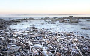 De döda fiskarna låg i drivor längs Hjälmarens strandkant, nära byn Smedshagen några kilometer utanför Stora Mellösa, när NA senaste rapporterade om en sådan händelse. Det var den 6 december i år.
