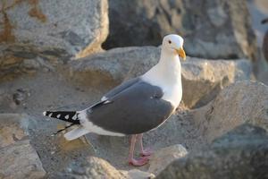 Gråtruten gör kvickt slut på ungarna i andra fåglars kullar.
