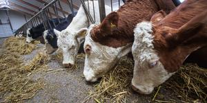 Två ägare till nötkreatur och får måste åtgärda brister i bland annat djurens hygien och säkerhet. Bilden är inte från den aktuella gården.