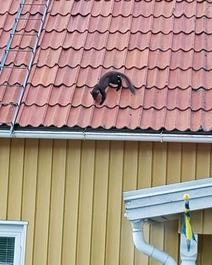 Mården blev skrämd av familjens katt. Foto: Camilla Eklund