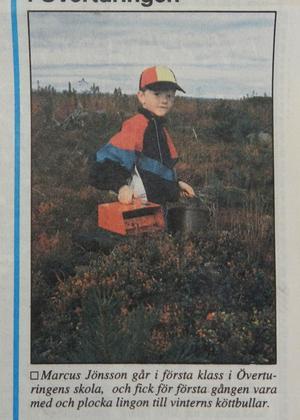 Med bärplockaren i högsta hugg kliver Marcus Jönsson bland tuvorna på jakt efter lingon som ska servers till köttbullarna på skolan i vinter.ST 12 september 1993.