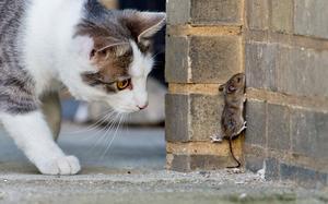 Det råder delade meningar om katter som går lösa i villabebyggelse. Den här musen hade gärna sluppit katter. Foto: Julian Stratenschulte/TT