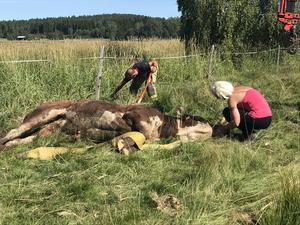 Lantbrukaren Helena Sundgren klappar om den medtagna tjuren efter räddningstjänstens insats.