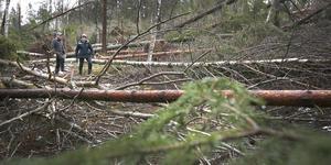 Uppskattningsvis har stormen Alfrida ödelagt 60 procent av Marianne och Hans Johansson skog på Rådmansö. – Det är mogen skog som har blåst ner. Mellan 75 och 100 år gamla tallar och granar.