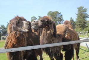 Kamelerna vill hälsa