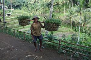 Bild 3: Risbönder i Tegalalang knäcker extra genom att ställa upp på bild.