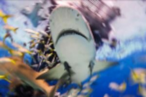 Att dyka med hajar