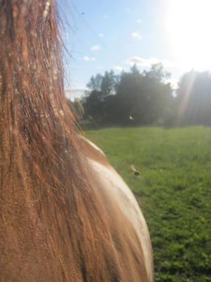 Vår häst Ramzes trivs bra i sommarhagen men flugor och bromsar gör livet surt i värmen.