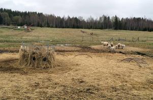 Två tackor och tre lamm har dödats på gården och ett 10-tal djur är skadade.