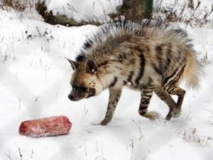 I går var det fryst nötkött på menyn, men nästan varje vecka får hyenorna ett trafikdödat rådjur till lunch.  Foto: Jan Andersson