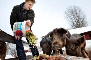 Tommy Ejderbratt bor på gård utanför Närkesberg och har Linderögrisar, fjällkor, gutefår, höns, katt och hund.