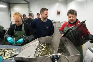 Ingemar Wasell håvar upp nya fiskar som ska fenklippas. Odlingsledare Börje Sahlin inspekterar och Staffan Nordlöf arbetar med saxen.