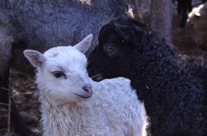 Det finns både svarta och vita lamm i fårhagen.