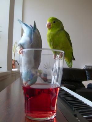 Mina sparvpapegojor Siv och Sverker sitter på saftglaset och dricker