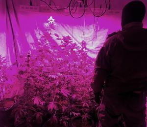 Bild från polisens tillslag mot en cannabisodling i Ånge kommun.