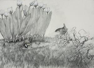 Nedsjungen talgoxe. Blyertsteckning av Mattias Bäcklin.
