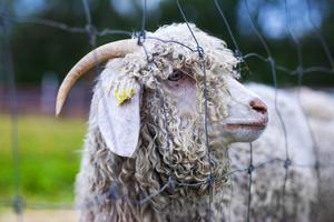 Det sägs att tiden som en svensk fårägare bedriver fårskötsel i genomsnitt är kortare än medellivslängden på en svensk tacka. Många skaffar nämligen får utan att ha tillräckliga kunskaper och tvingas sälja djuren ganska snart.