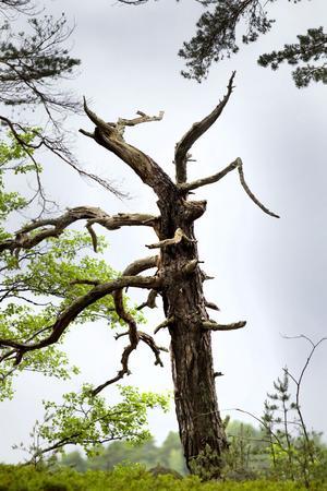 SE MEN INTE RÖRA. Döda träd ger dramatik åt landskapet. De får inte röras utan blir boplatser för en massa olika insekter – och ugglor.