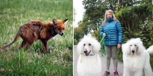 Sedan början av sommaren har en sjuk räv rört sig i centrala Sandviken. Hundägaren Bibi Pierrou är en av dem som ringt kommunen utan att något hänt. Räven på bilden är inte samma som i Sandviken.