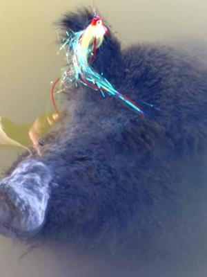 Kroken hade fastnat i vildsvinets ena öra.Foto: Privat
