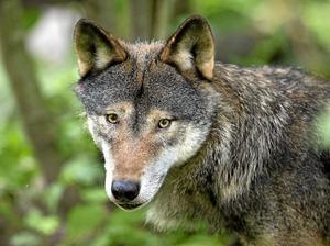 omstridd. Var ska vargen få finnas? Debattörerna vill inte ha några vilda vargar.Arkivfoto:Jonas Ekströmer / TT