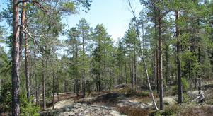 Flotthöljeskogen i Hudiksvalls kommun har nu blivit naturreservat. Foto: Länsstyrelsen Gävleborg